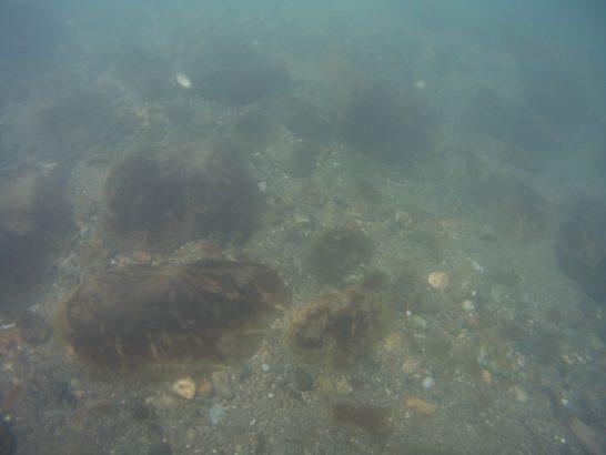 球磨川水系ハミ痕