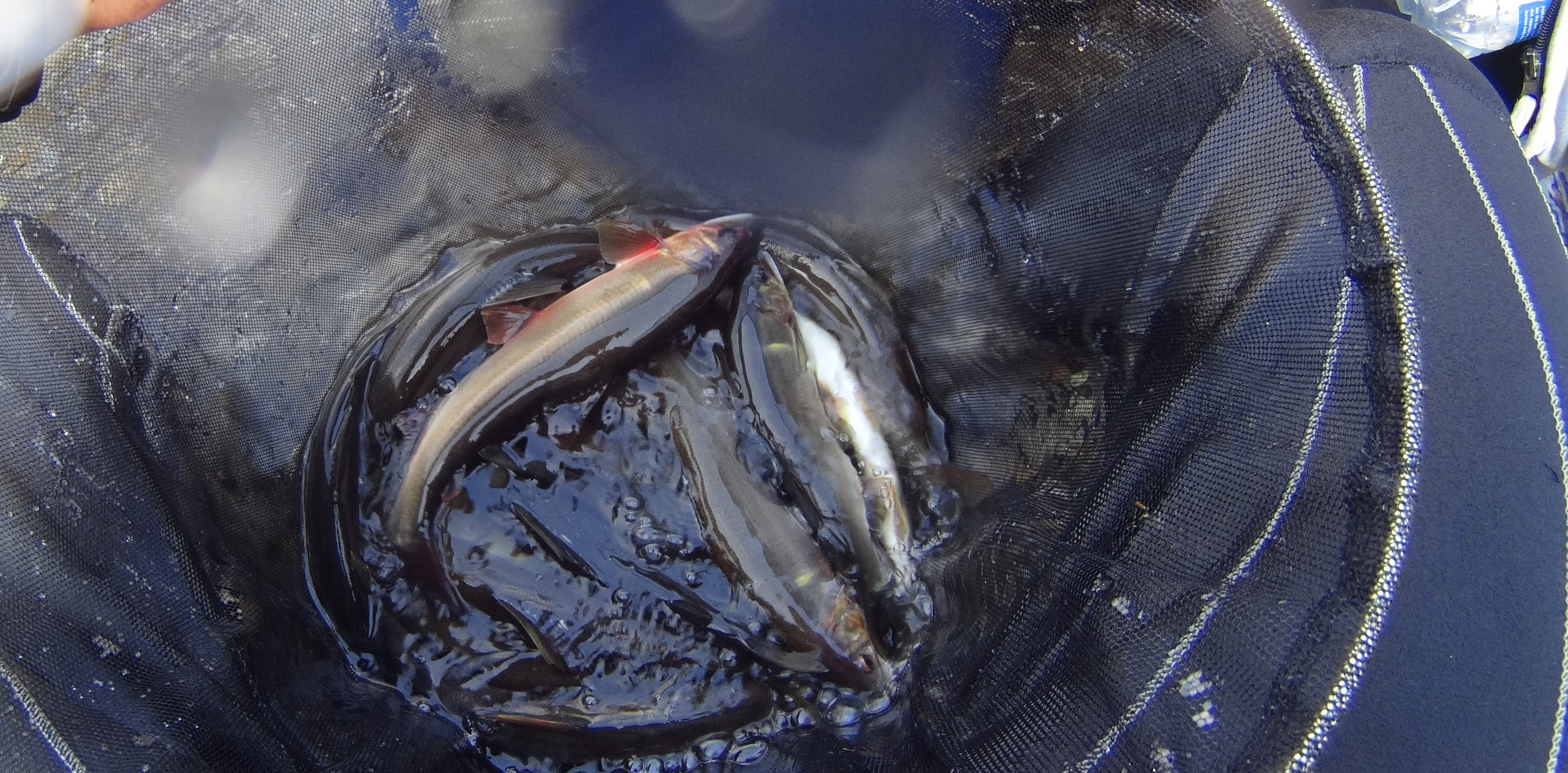 川辺川 釣果