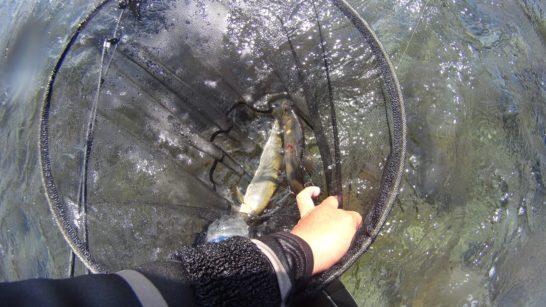 川辺川 チラシで釣れた
