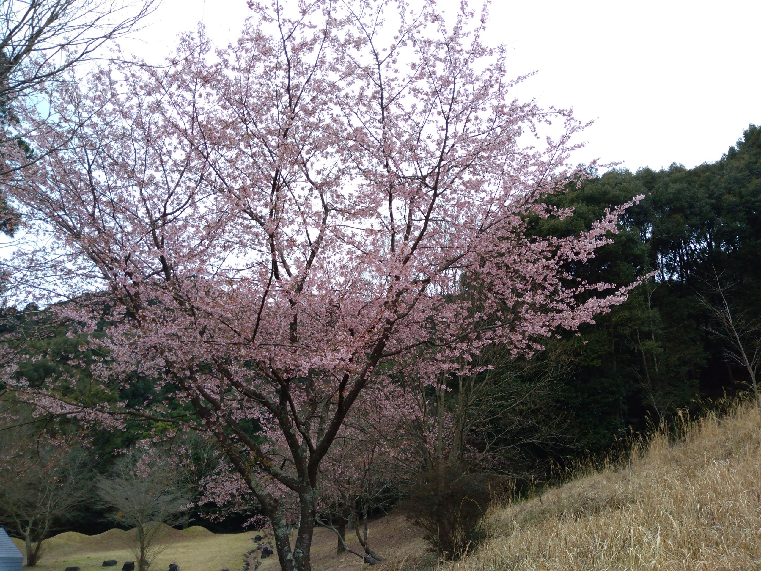 水上 ほいほい広場 桜